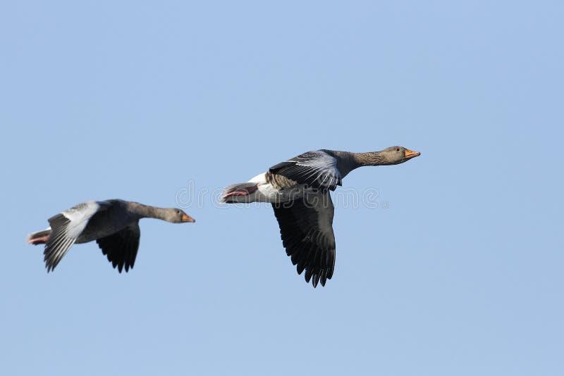 Oies cendrées (anser d'Anser) en vol. photos libres de droits