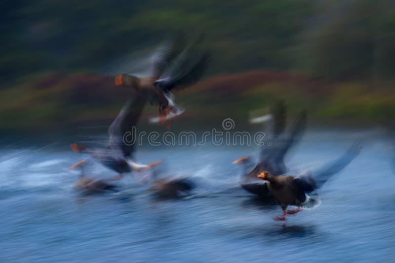 Oies cendrées atterrissant sur l'eau image stock