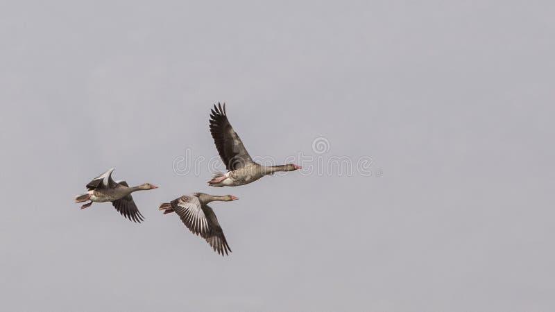 Oies cendrées en vol photo libre de droits