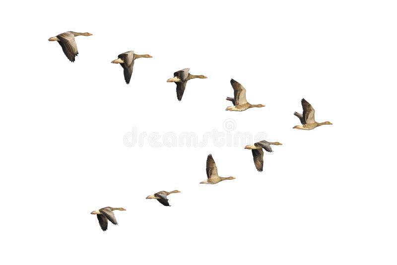 Oies cendrées en vol photographie stock