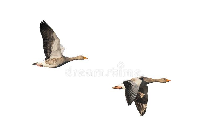 Oies cendrées en vol photo stock