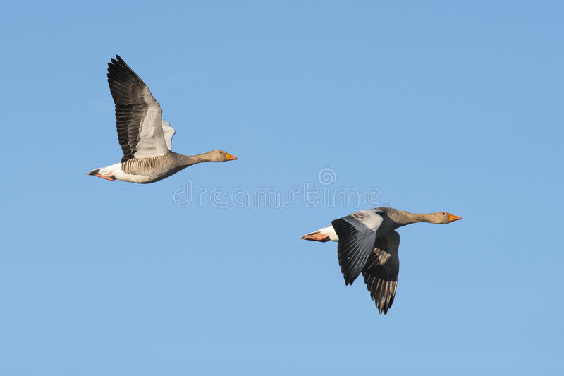 Oies cendrées en vol images stock