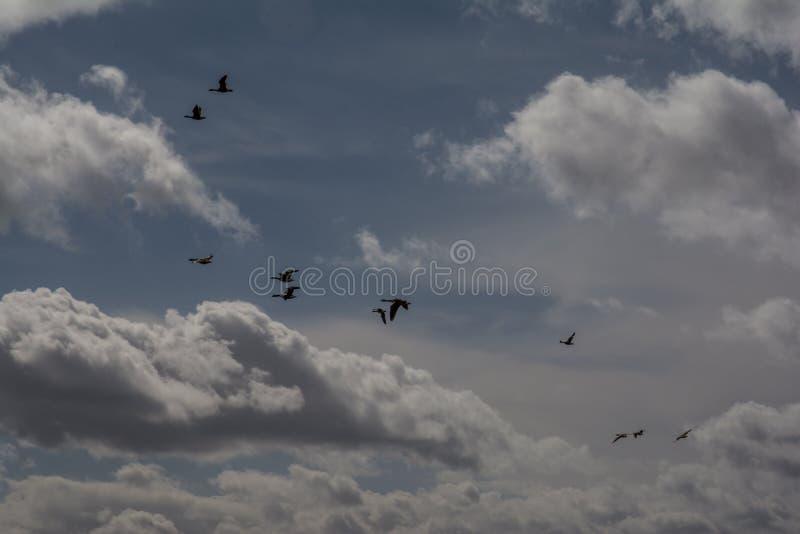 Oies cendrées en vol images libres de droits