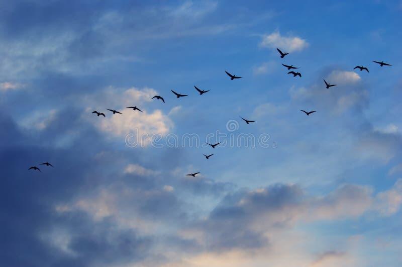 Oies dans le ciel photo stock