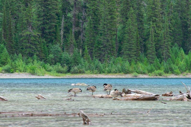 Oies dans le lac avalanche image libre de droits