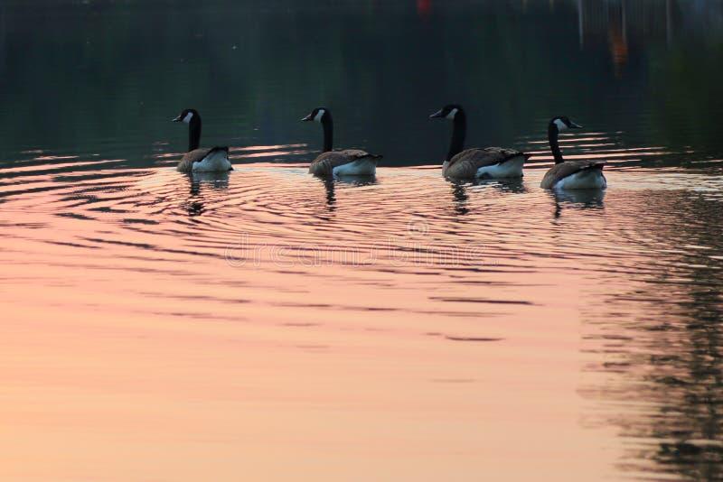 Oies dans le lac dans le coucher du soleil photos stock