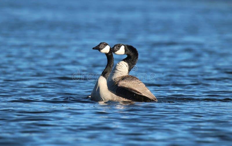Oies de accouplement de Canada sur un lac bleu au printemps photo libre de droits