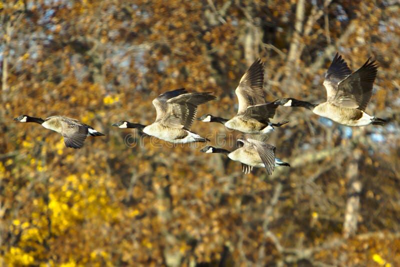 Oies de Canada en vol photo libre de droits