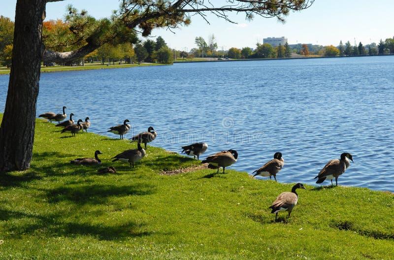 Oies de Canada sur le lac image libre de droits