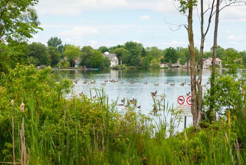 Oies de Canada sur le lac Wilcox photographie stock