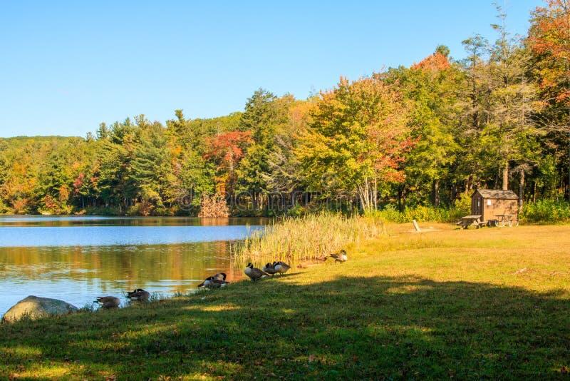 Oies de Canada sur le rivage de Burr Pond image libre de droits