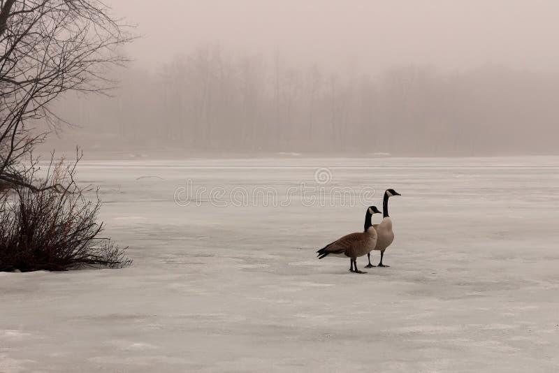 Oies de Canada sur un lac congelé images libres de droits