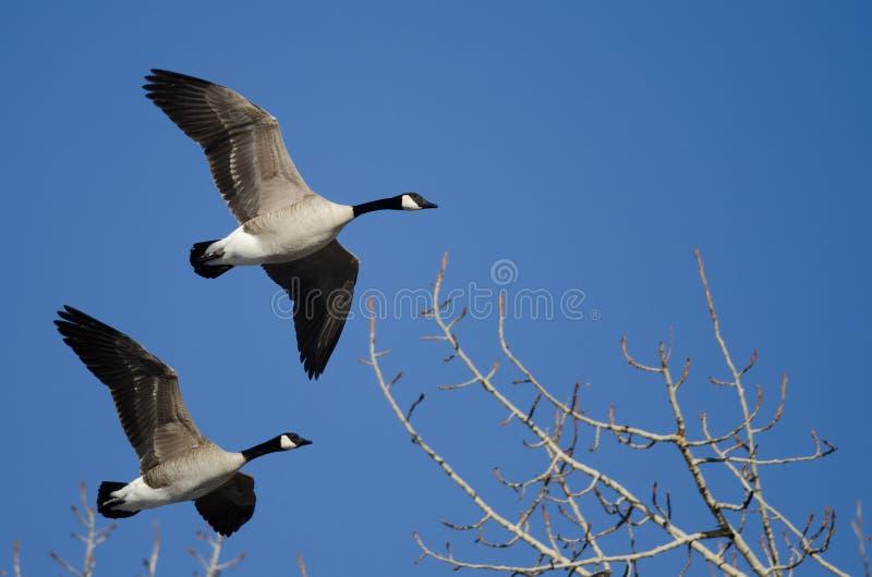 Oies de Canada volant bas au-dessus des arbres d'hiver photographie stock