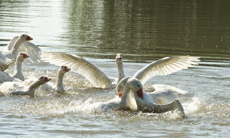 Oies de combat sur la rivière photographie stock libre de droits