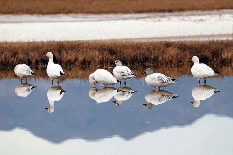 Oies de neige au marais de désert image stock