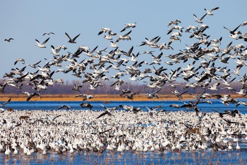 Oies de neige de migration image libre de droits