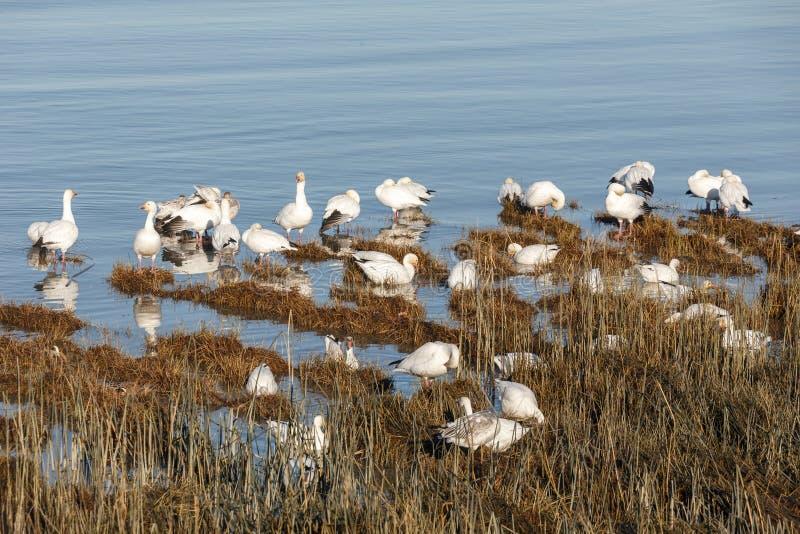 Oies de neige de migration photographie stock