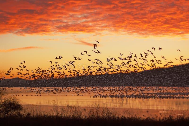 Oies de neige volant au lever de soleil photo libre de droits