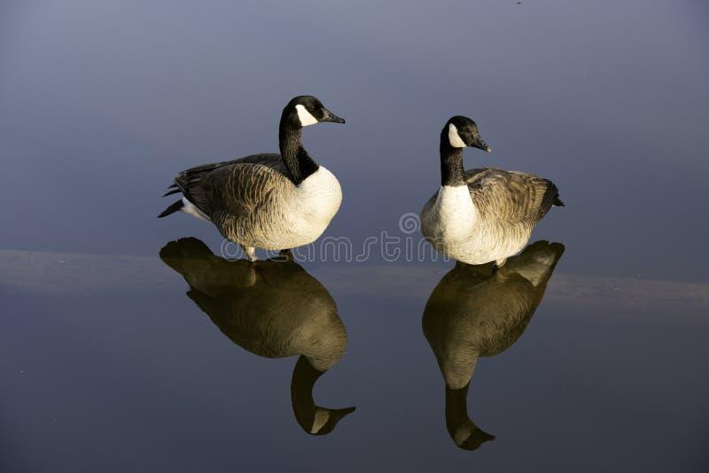 Oies de repos sur un rondin d'étang image libre de droits