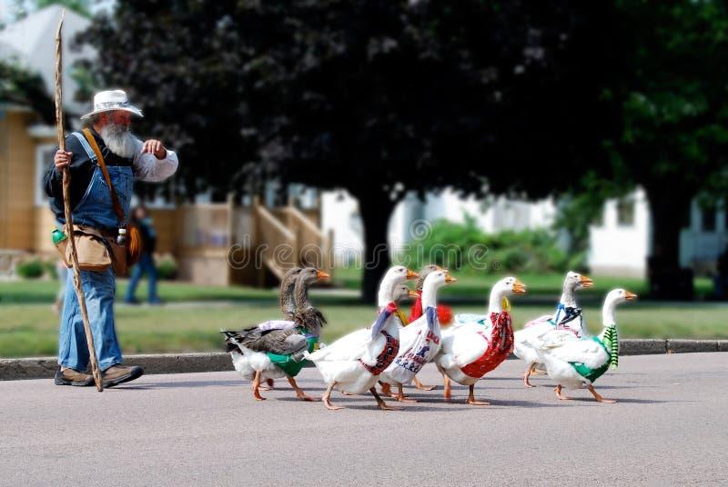 Oies de troupeau dans le défilé de petite ville avec le vieil homme photographie stock libre de droits