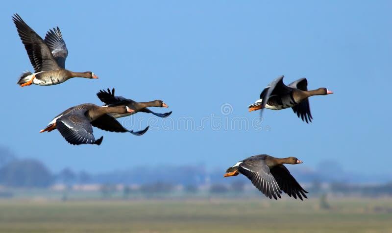 Oies de vol photos stock