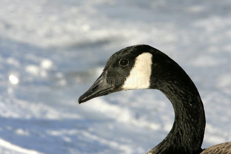 Oies du Canada photos stock