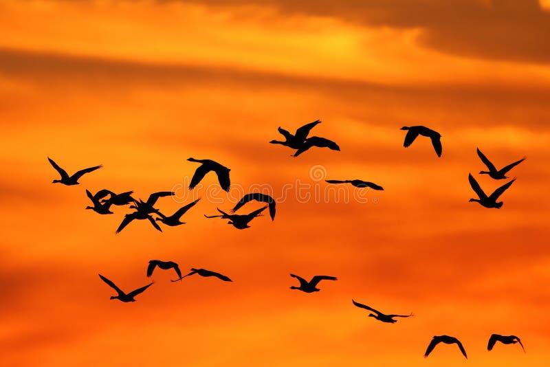 Oies du Canada au coucher du soleil image libre de droits