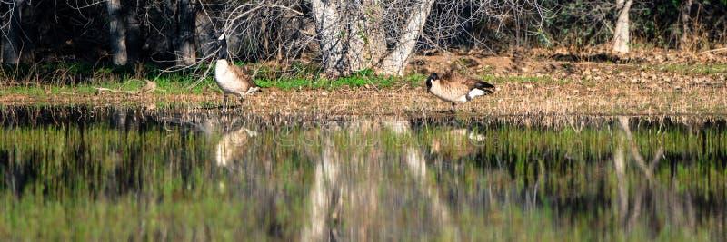 Oies du Canada au printemps dans un marais photo stock
