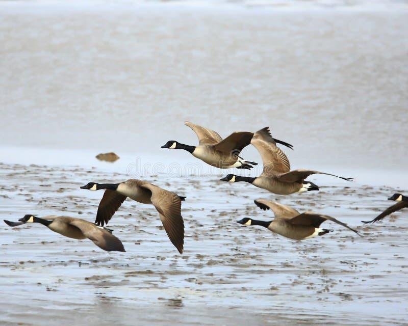 Oies du Canada en vol photo stock