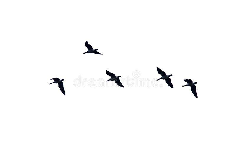 Oies du Canada en vol, vue de dessous, sur le fond blanc - canadensis de Branta images libres de droits