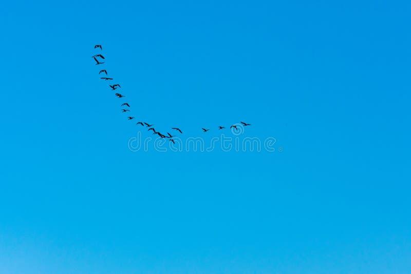 Oies du Canada volant en ciel bleu photographie stock
