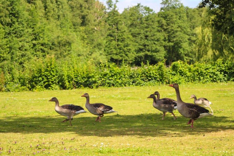 Oies en parc photo stock