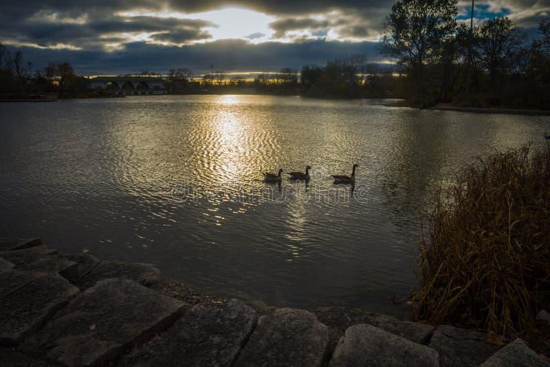 Oies en Serene Lake Waters photos stock