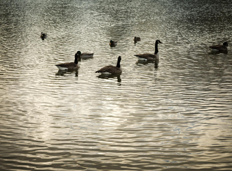 Oies en Serene Lake Waters photographie stock libre de droits
