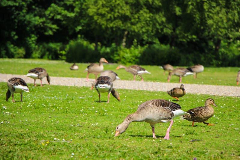 Oies et canards en parc photos stock