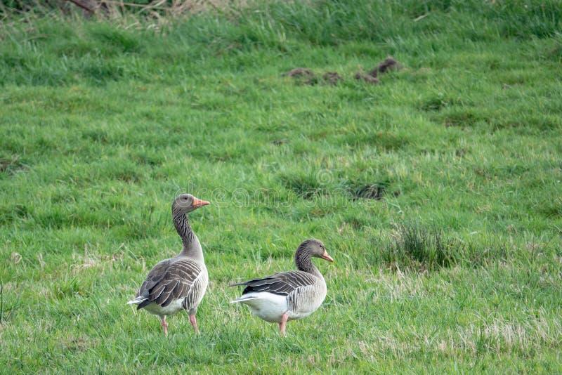 2 oies grises se tiennent sur un pré et caquettent et mangent image libre de droits