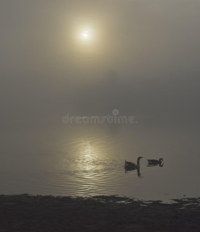 Oies nageant sur le lac de folsom pendant le matin pendant le lever de soleil images libres de droits