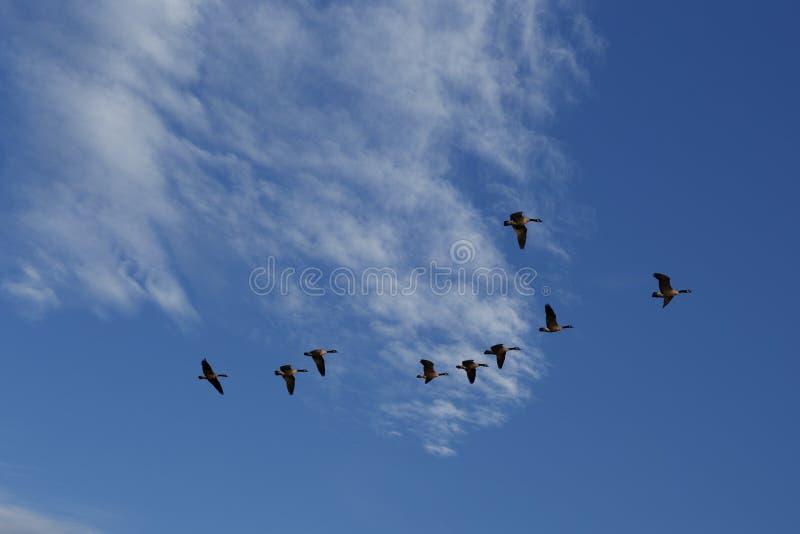 Oies pilotant des sud images libres de droits