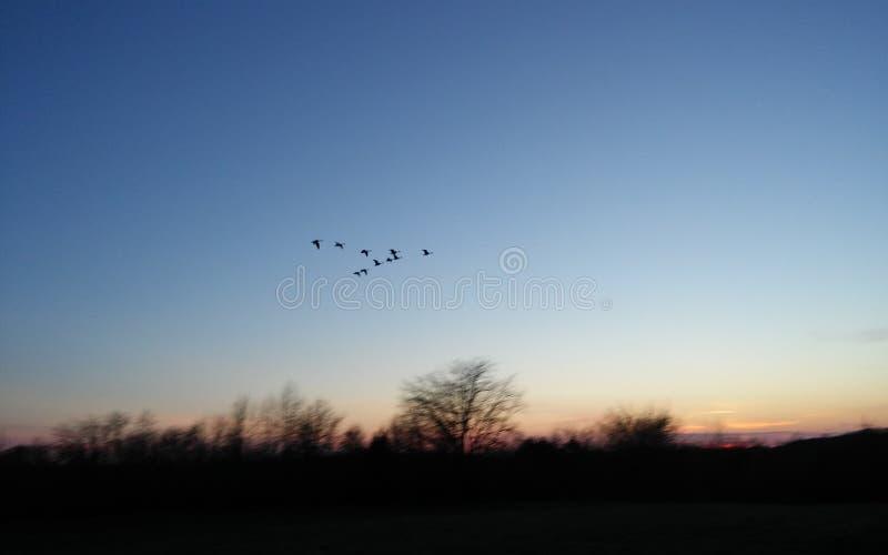 Oies pilotant le nord au coucher du soleil photos libres de droits