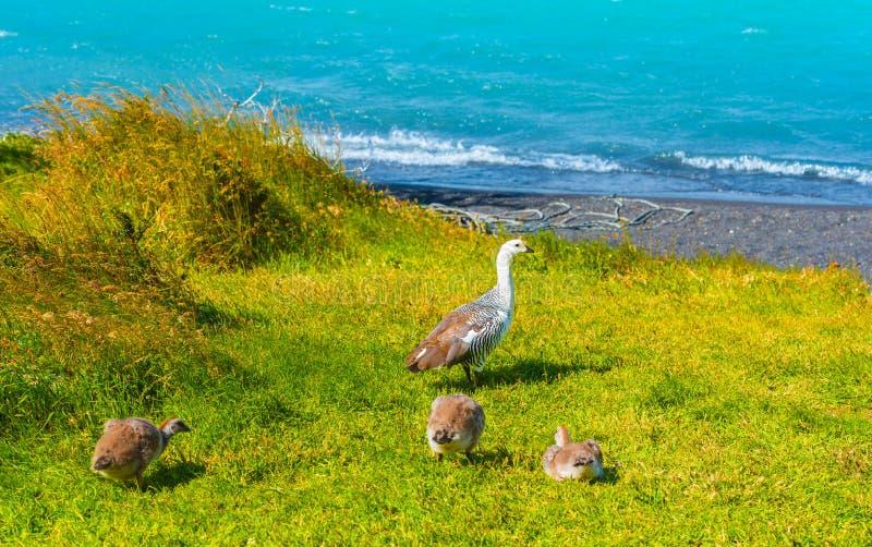 Oies près de lac Pehoe, parc national de Torres del Paine, Patagonia, Chili, Amérique du Sud Copiez l'espace pour le texte image libre de droits