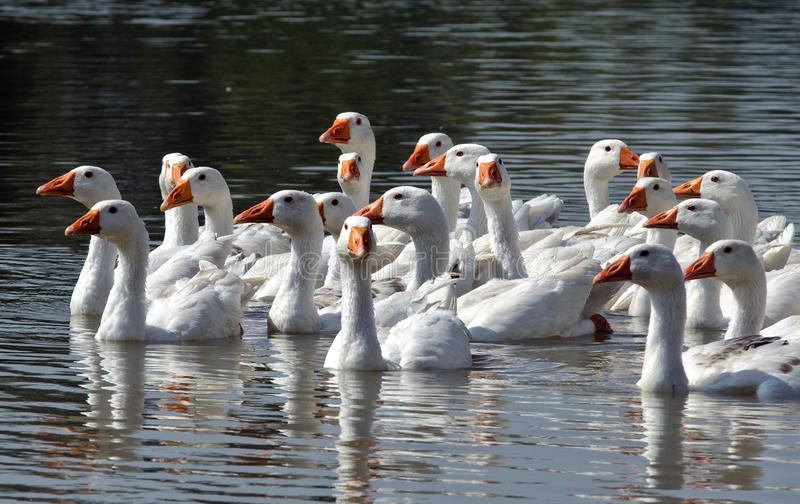 Oies sur la rivière photographie stock libre de droits
