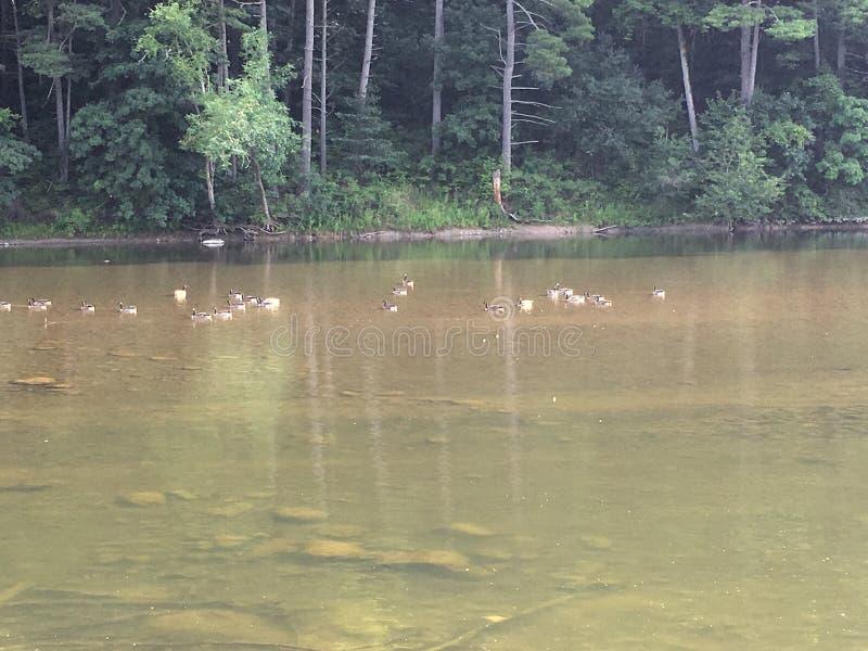 Oies sur la rivière images libres de droits