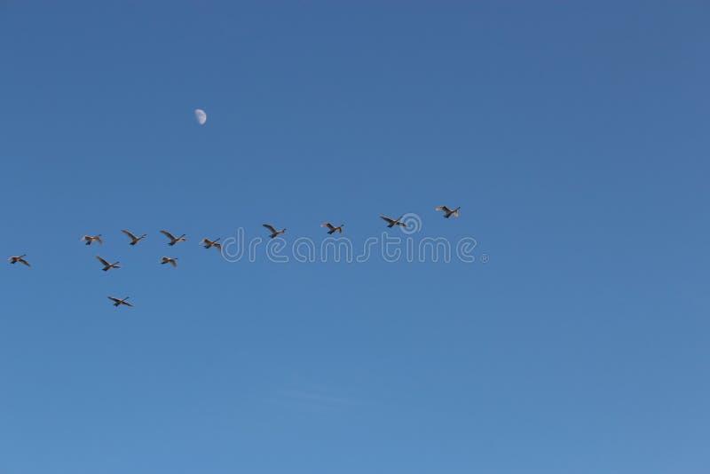 Oies volant contre le ciel image libre de droits