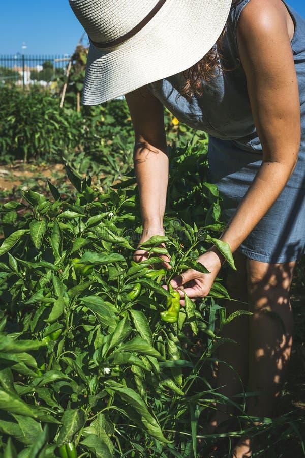 Oigenkännliga kvinnaplockninggrönsaker i kökträdgård arkivfoton