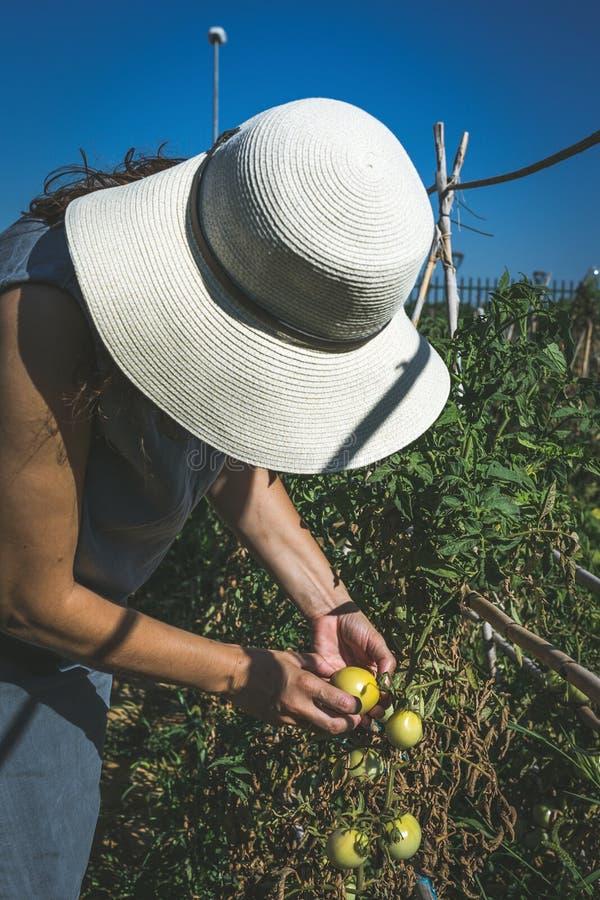 Oigenkännliga kvinnaplockninggrönsaker i kökträdgård royaltyfria foton