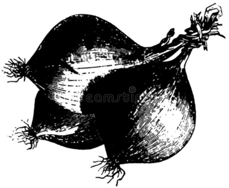 Oignon-001 Free Public Domain Cc0 Image