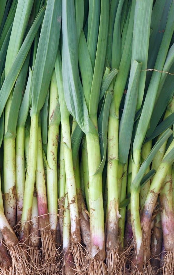 Oignon blanc image stock