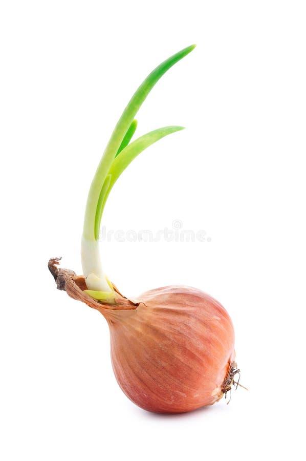 Oignon simple avec les pousses vertes fraîches photos stock