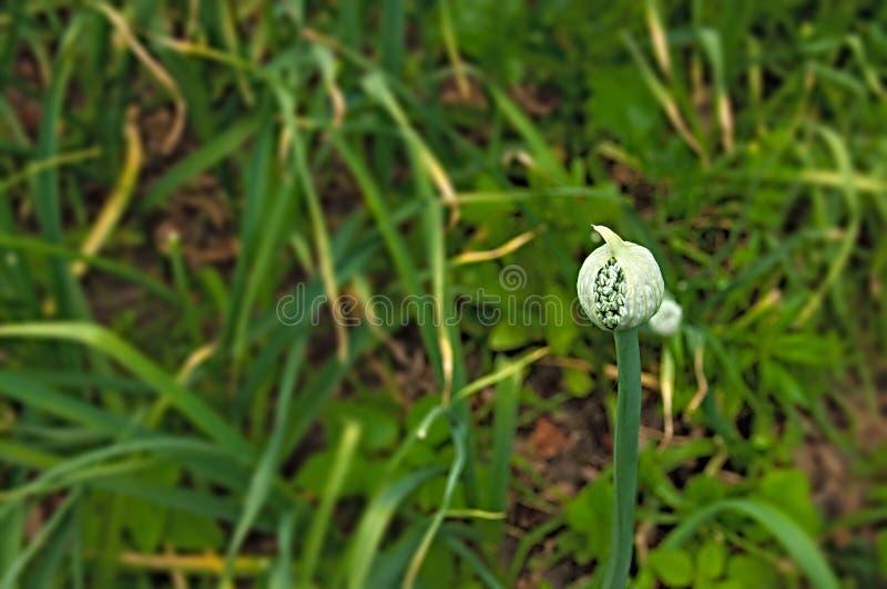 Oignon vert fleurissant dans le jardin photo stock