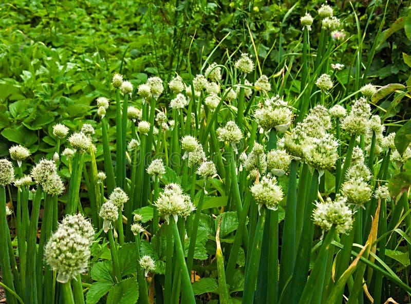 Oignon vert fleurissant dans le jardin photographie stock libre de droits